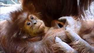 Zookeepers name rare baby orangutan