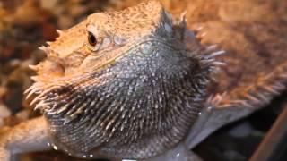 Все О Домашних Животных: Бородатая Агама - Австралийская Гостья