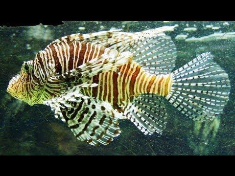 Pterois Volitans - Red Lionfish - Крылатка-зебра