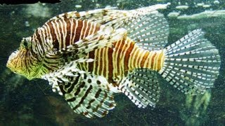 Pterois Volitans - Red lionfish - Крылатка-зебра