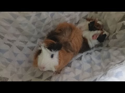 New Born Abyssinian Guinea Pigs