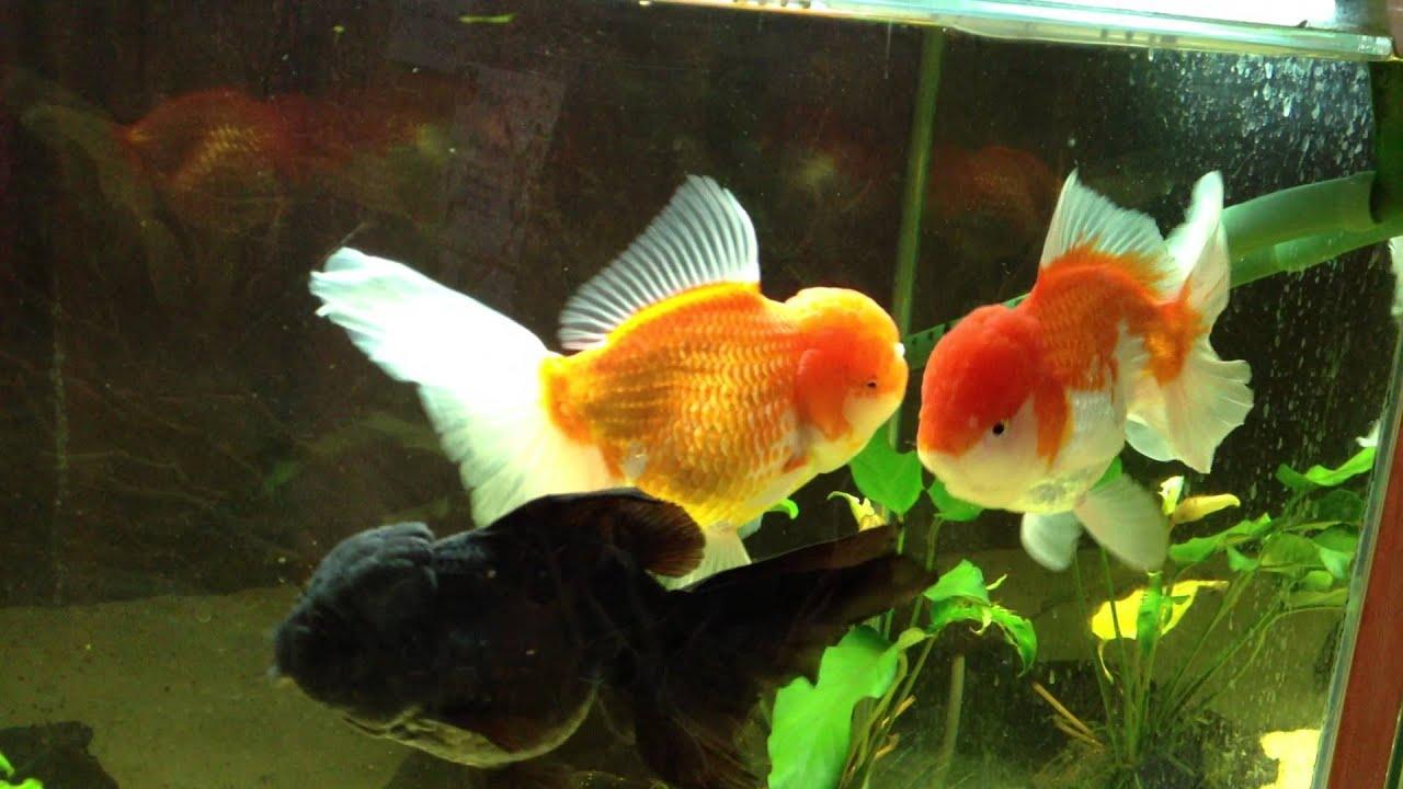 Cute Fish Wallpaper Hd Sold Xxl Thai Oranda And Xl Thai Black Oranda Goldfish