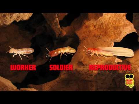 Pest Guide: Subterranean Termites