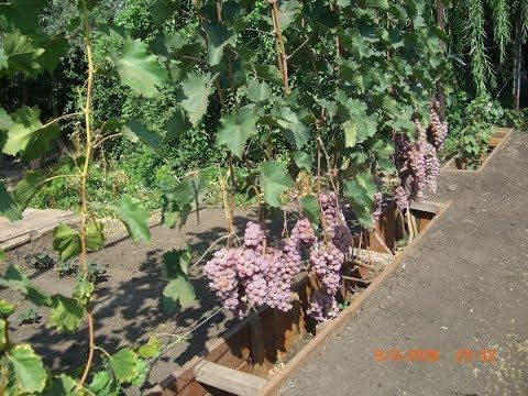 Крупные сорта винограда в Самарской области.