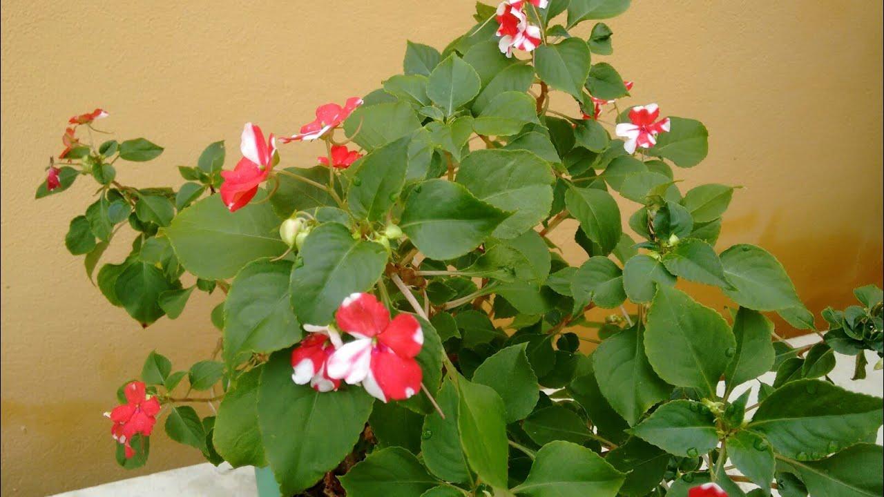 Maria sem vergonha ou beijinho: como plantar, cuidar e fazer mudas.