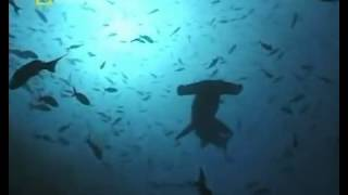 'АКУЛЫ ОТКРЫТОГО МОРЯ' / 'SHARKS SEAS'(Subscribe to my channel and watch movies, stories and TV programs about the underwater world of the Black Sea and other seas, the nature of the world, video ..., 2014-09-06T17:30:05.000Z)