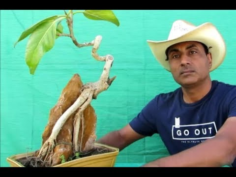 Banyan Bonsai /Root-Over-Rock/Repotting