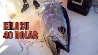 Bu Balığın Kilosu 40 Dolar / Oltayla Dev orkinos Yakaladık !!