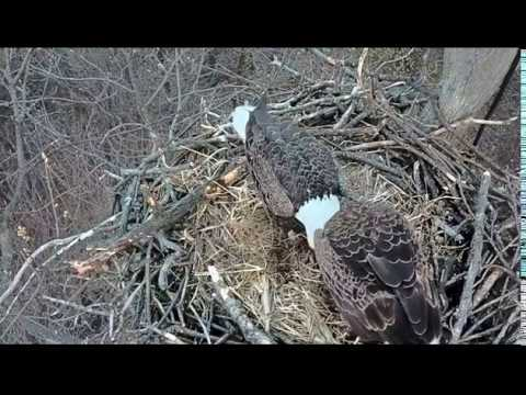 7:55 pm IR Camera Hanover Eagle nest. Both eagles at the nest