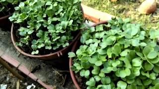 Tái sử dụng chai nhựa trồng rau mầm bảo vệ môi trường