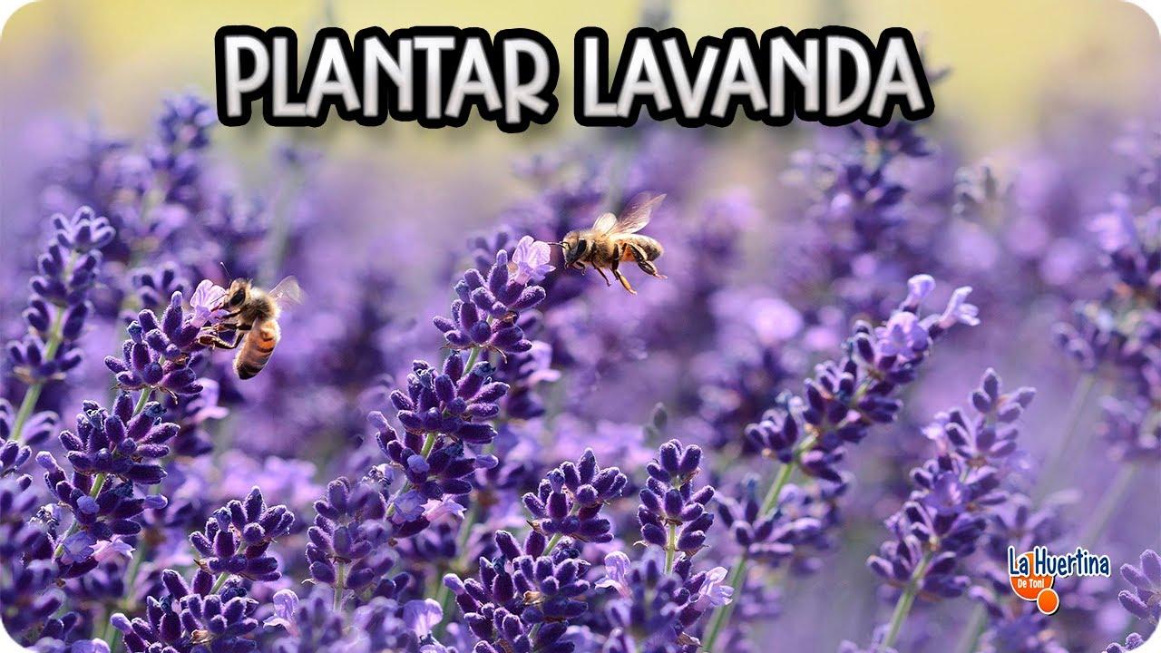 Como Y Porque Plantar Lavanda En El Huerto Huerta Aromatica La - Como-plantar-lavanda