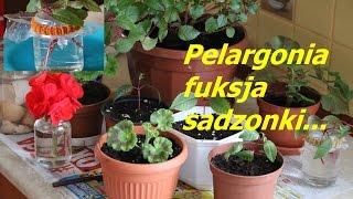 Pelargonia fuksja sadzonki mały kursik