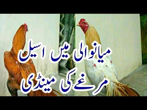 Aseel Murgha Ki Mianwali Mandi