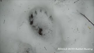 Beagle Boys Rabbit Hunting - Training On Hare In Bear Country