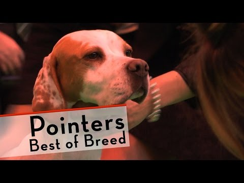 Crufts 2015 - Pointers - Best of Breed
