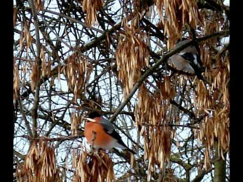 Bullfinch  -Снегири
