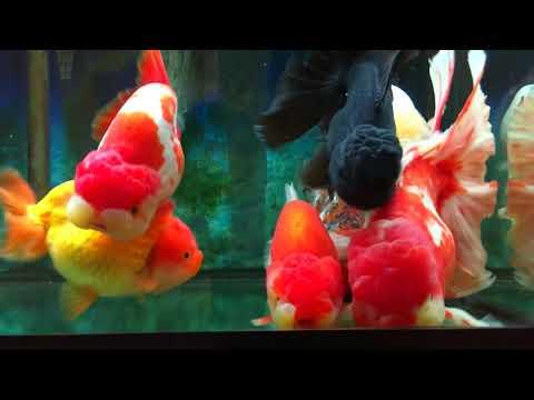 My Show Grade GoldFish Aquarium  In Vancouver CANADA !