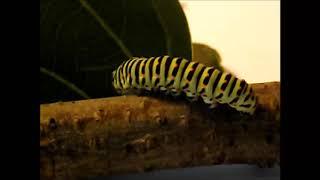 видео Что представляют собой личинки бабочки капустницы?