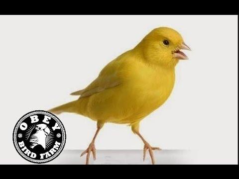 Suara Burung Kenari Gacor Kicau Panjang   Download Koleksi Juara