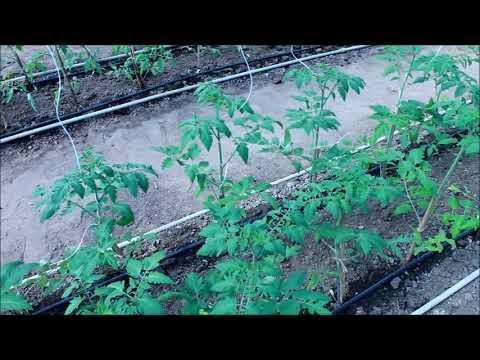 Развиваем  корень , Томат   неделя после высадки