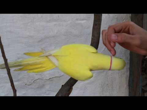 Yellow Indian Ringneck Parrot Talking in English & Urdu/Hindi
