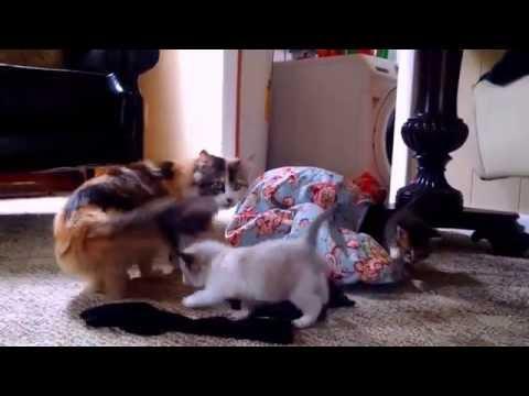 Chloe Kitten had 3 kittens now 5 weeks old, update. Munchkin Himalayan Calico Mix. Adopt one!