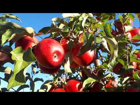 Пінова та Голдраш,( Pinova, Goldrush)  ідеальні сорти для органічого саду