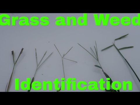 grass-and-weed-identification-by-seed-head