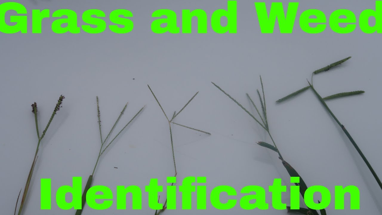 Grass and Weed Identification by Seed head