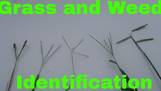 Gambar cover Grass and Weed Identification by Seed head