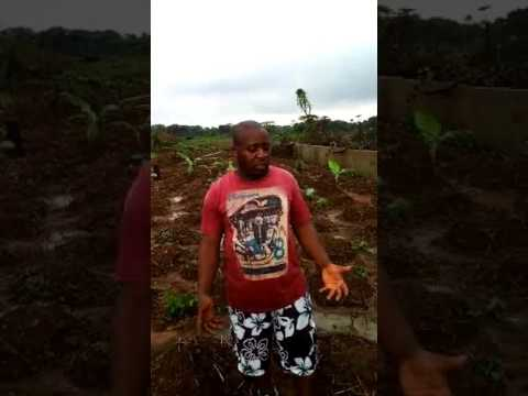Day 4 part 2: of the Diary of an ugu farmer in Lagos Nigeria: Taking care of  weeds