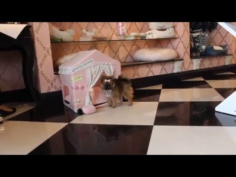 Pomeranian Puppy at Teacup Puppies Store 2016 - teacuppuppiesstore - www.TeacupPuppiesStore.com