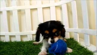 Puppies For Sale Los Angeles Cavalier King Charles Spanile Puppies For Sale San Diego