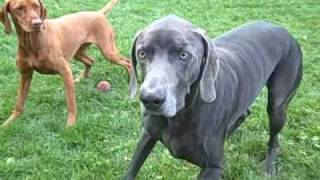 Dogs Playing With Ball ~ Vizsla And Weimaraner