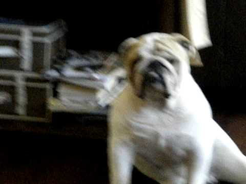 buff bulldog buff bulldog baxter youtube 563