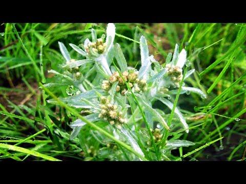 Сушеница топяная: лечебные свойства и противопоказания