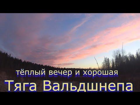 Хорошая тяга Вальдшнепа в тёплый вечер