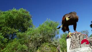Falcon on a wooden post