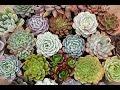 Tanaman Hias Kaktus Sekulen di De' Ranch Bandung