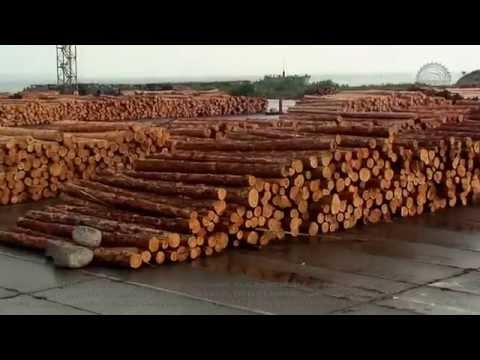 Exports of pine roundwood logs from Ukraine. Imports in Turkey. Supplies by ship parties.