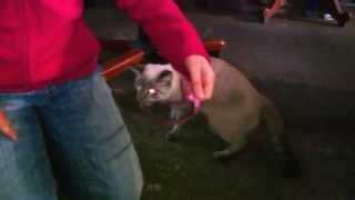 Балинезийский котик играет