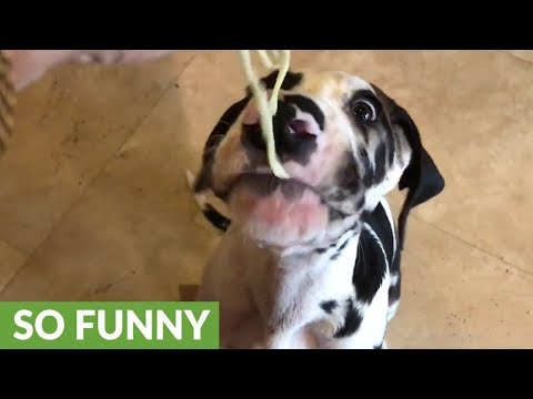 Great Dane puppy has his first taste of pasta