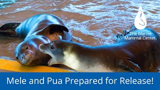 Hawaiian Monk Seals Mele and Pua are Prepared for Release