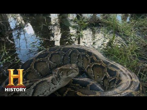 Swamp People: Serpent Invasion: TROY CATCHES HUGE PYTHON (Season 1) | History