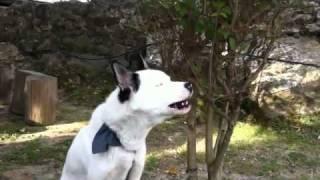 duet qen-hoxhë në krujë / dog & imam duet