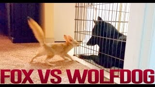 Fennec Fox vs Wolfdog