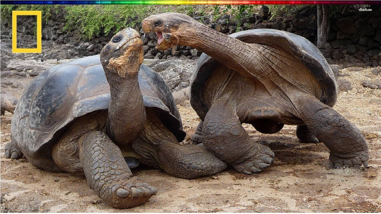 Download National Geographic | Turtle vs Tortoise | BBC Documentary