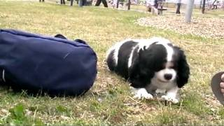 Lucy The Cavalier King Charles Spaniel Visits Ayr