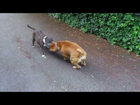 Rednose Bull Terrier fighting Staffie Cecilia