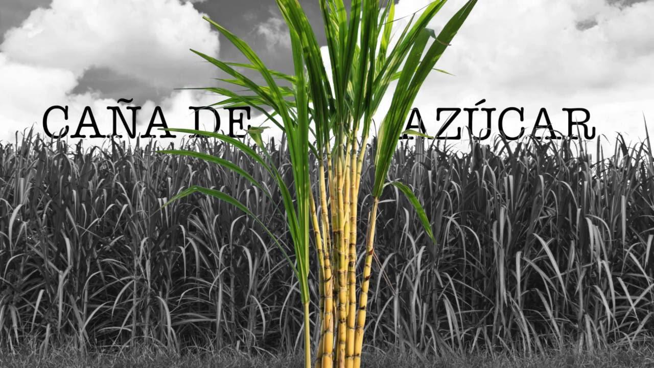 Circuito Productivo De La Caña De Azucar : Proceso de producción del azúcar caña parte cosecha
